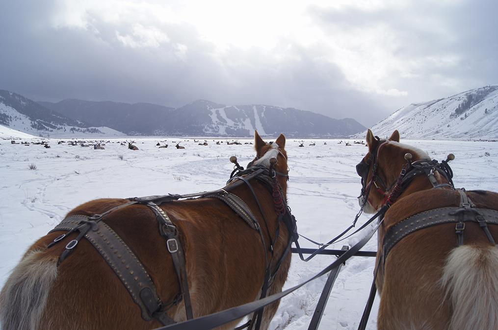 Sleigh Ride at the National Elk Refuge