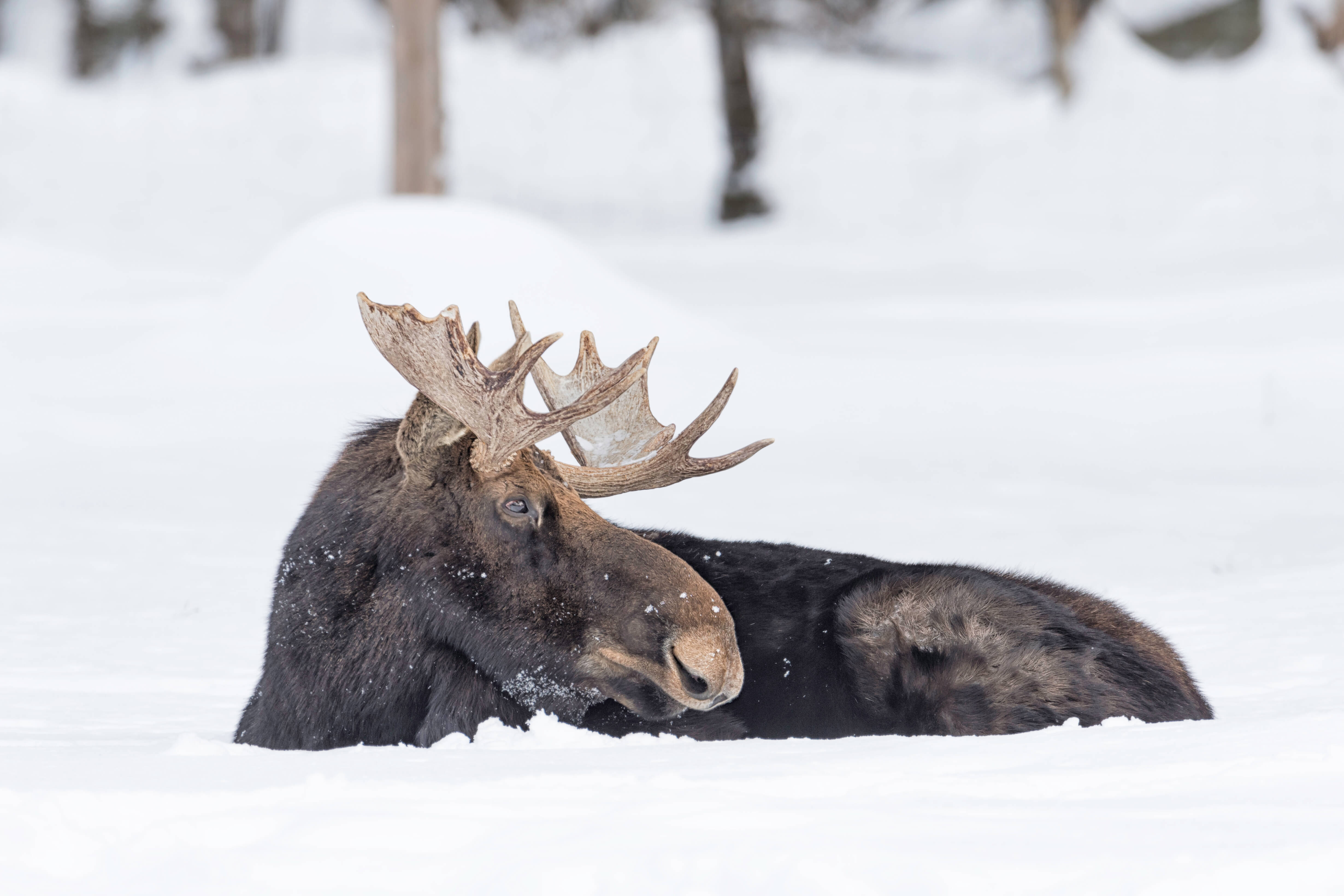 Elk stuck in deep snow