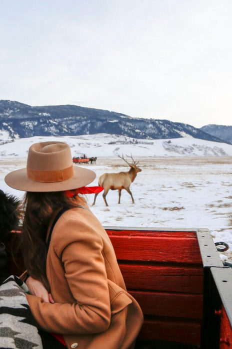Woman looking at elk wildlife from horse drawn sleigh
