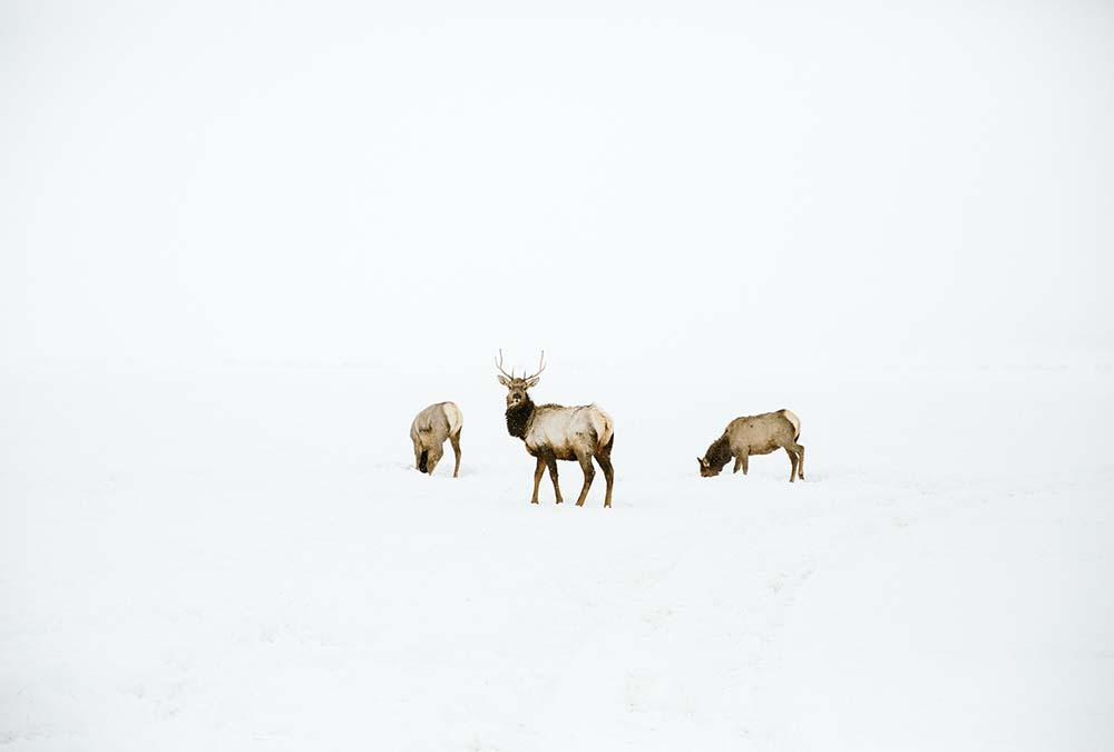 Elk In The Middle of a Snow Field