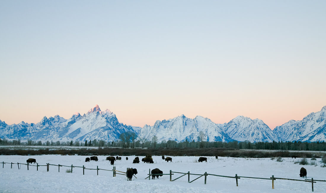 Jackson Wyoming Buffalos in the Snow