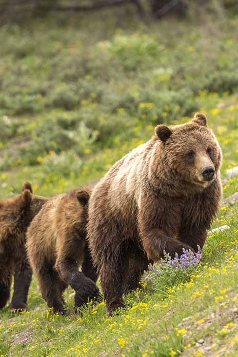 A female Grizzly Bear and her two one year old cubs in Teton National Park, Wyoming, near Pilgrim Creek.