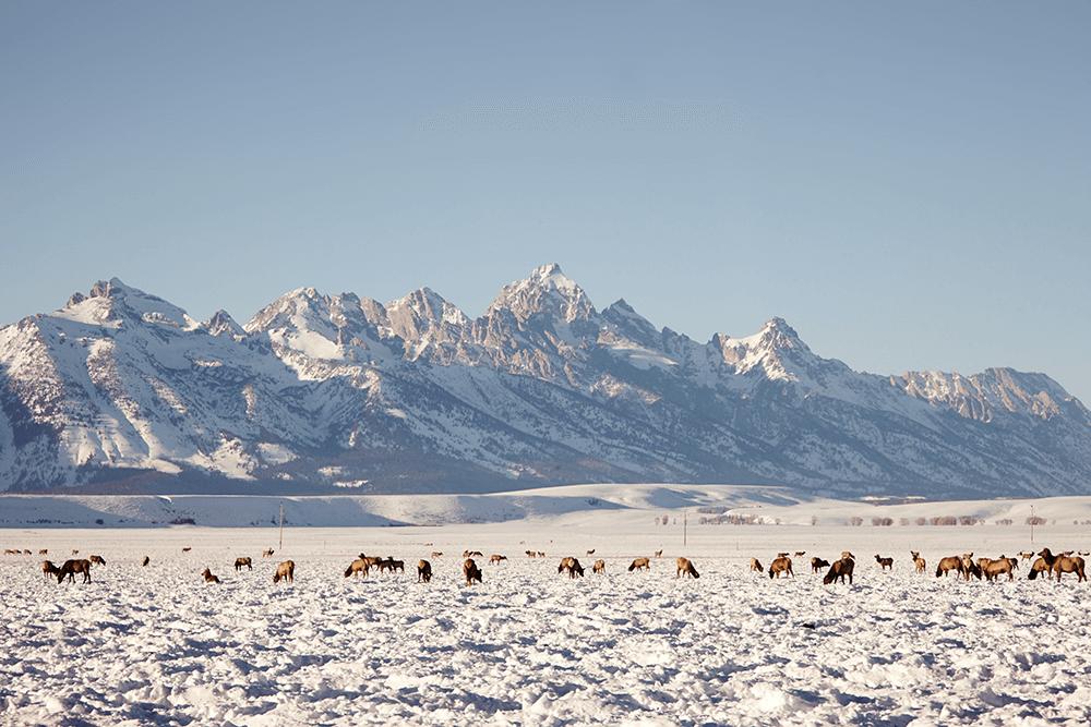 elk refuge in jackson wy